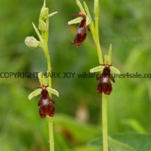 Fly Orchid 18.5.2017 (5)