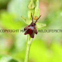 Fly Orchid (Ophrys insectifera) 29.4.2017 (1)