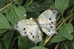 Forest Mother of Pearl (Salamis parhassus) (1)