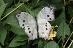 Forest Mother of Pearl (Salamis parhassus) (6)