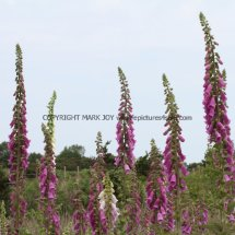 Foxglove Pink  Wild (Digitalis purpurea)