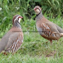 French Partridge (11)