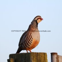 French Partridge (13)