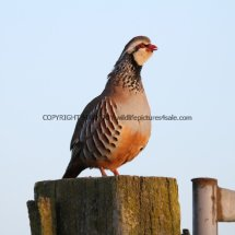 French Partridge (14)