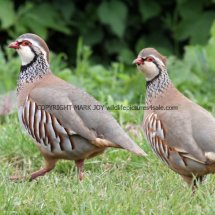 French Partridge (7)