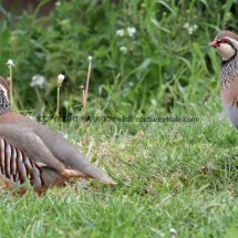French Partridge (8)