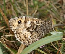 GRAYLING (Great Orme Head) ssp Thyone (1)