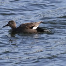 Gadwall (male) (1)