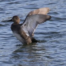 Gadwall (male) (3)