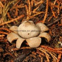 Geastrum floriforme Daisy Earthstar GREATER LONDON (3)