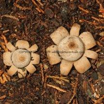 Geastrum floriforme Daisy Earthstar GREATER LONDON (4)