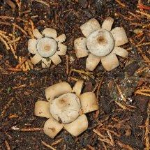 Geastrum floriforme Daisy Earthstar GREATER LONDON (5)