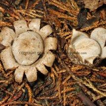 Geastrum floriforme Daisy Earthstar GREATER LONDON (8)