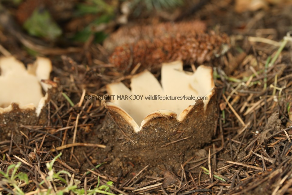 Geopora sumneriana Cedar Cup Leics Bot Gardens 28.2.17 (55)