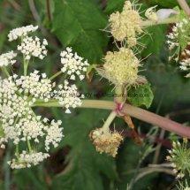 Giant Hogweed (Cartwheel Plant or Giant  Cow Parsley) (Heracleum mantegazzianum) (1)