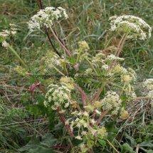 Giant Hogweed (Cartwheel Plant or Giant  Cow Parsley) (Heracleum mantegazzianum) (2)