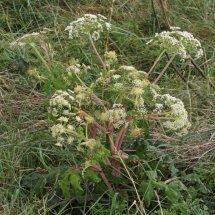 Giant Hogweed (Cartwheel Plant or Giant  Cow Parsley) (Heracleum mantegazzianum) (3)