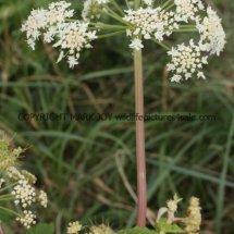 Giant Hogweed (Cartwheel Plant or Giant  Cow Parsley) (Heracleum mantegazzianum) (5)