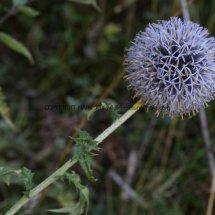 Globe Thistle (2)