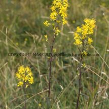 Golden Rod (Solidago virgaurea)