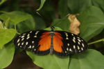 Golden or Hecale Longwing (3)