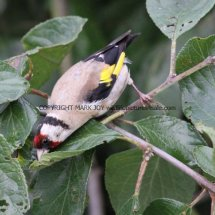 Goldfinch (13)