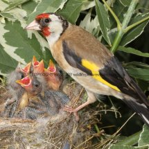 Goldfinch (1)