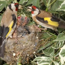 Goldfinch (2)