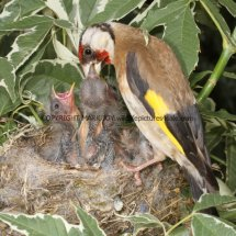 Goldfinch (3)