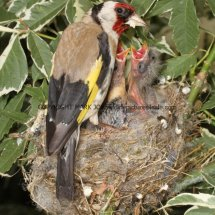 Goldfinch (4)