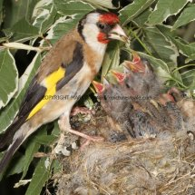 Goldfinch (5)