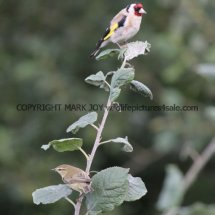 Goldfinch and Willow Warbler 1