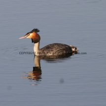 Great Crested Grebe (1)