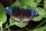Great Eggfly Female (3)