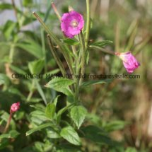 Great Hairy Willowherb (Epilobium hirsutum) (1)