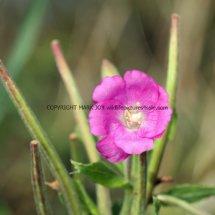 Great Hairy Willowherb (Epilobium hirsutum) (2)
