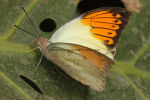 Great Orange Tip 6 (2)