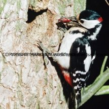 Great Spotted Woodpecker 15 (1)
