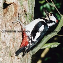 Great Spotted Woodpecker 15 (2)