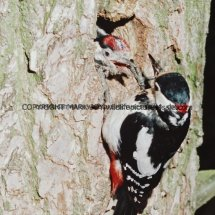 Great Spotted Woodpecker 15 (3)