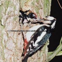 Great Spotted Woodpecker 15 (4)