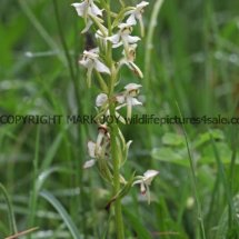 Greater Butterfly Orchid (1)
