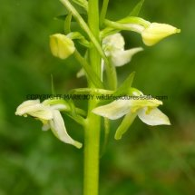 Greater Butterfly Orchid Platanthera chlorantha 18.5.17 (2)