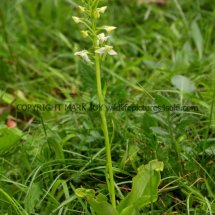 Greater Butterfly Orchid Platanthera chlorantha 18.5.17 (3)