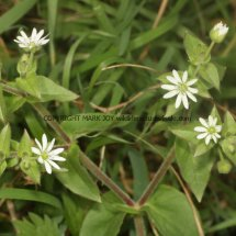 Greater Chickweed (Stellaria neglecta) (1)