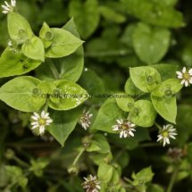 Greater Chickweed (Stellaria neglecta) (2)
