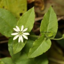 Greater Chickweed (Stellaria neglecta) (3)