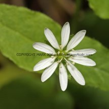 Greater Chickweed (Stellaria neglecta) (4)