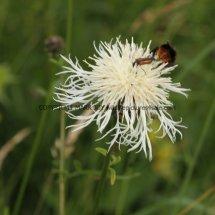 Greater Knapweed (white form) (Centaurea scabiosa) (1)