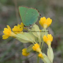 Green Hairstreak (3)